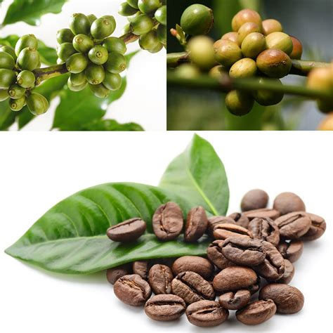 We are passionate about cannabis. 100pcs Hawaiian Kona Coffee Bean Seeds Awesome Easy to Grow Garden Plant Seeds   eBay