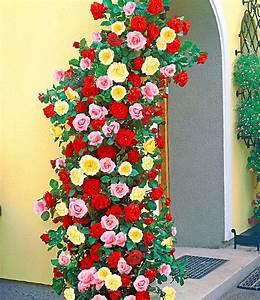 Blühende Kletterpflanzen Winterhart Mehrjährig : kletterrosen trio rosen kollektionen bei baldur garten ~ Michelbontemps.com Haus und Dekorationen