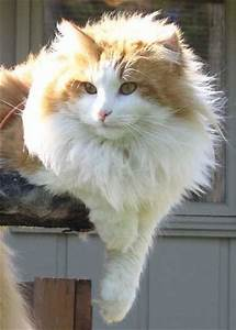 10 best images about Orange and White Tabby Cats on ...
