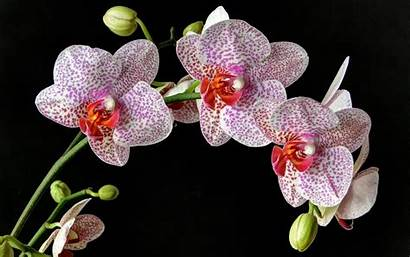 Orchid Orchids Flower Wallpapers Background Spotted Pink
