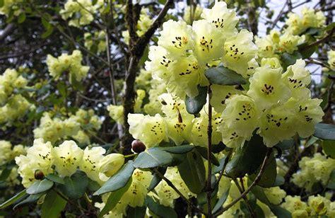 schmucklilie blüht nicht rhododendron in schottland schottlandinfos de