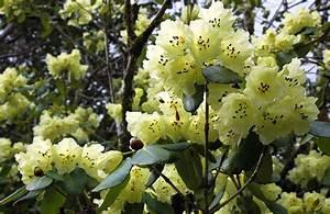 Rhododendron Blüht Nicht : rhododendron in schottland ~ Frokenaadalensverden.com Haus und Dekorationen