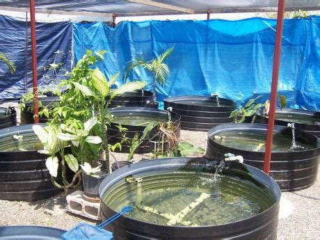 Home Aquaculture Backyard Fish Farming by Fishing In The Inner City Business Jamaica Gleaner