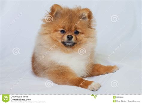 Cute Pomeranian Puppy Smiling On A White Background Stock ...