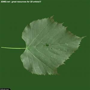 Linden Tree Leaves Textures - Linden Tree Leaf Texture ...
