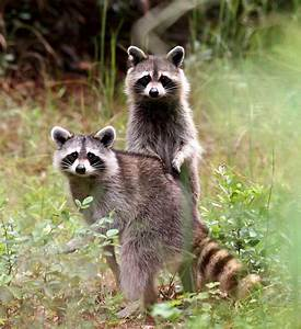 Deadly raccoon roundworm can infect humans without ...