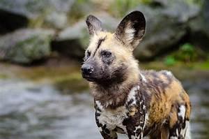 Hyena Hybrids - Mammalian Hybrids