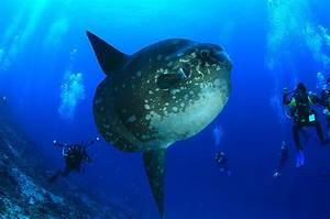 The Ocean Sunfish  Mola Mola Or Molidae