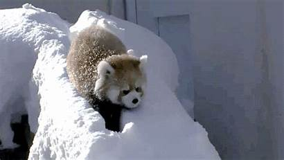 Panda Snow Scared Gifs Anna Pandas Know