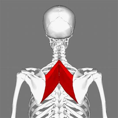 Muscles Rhomboid Animation Wikimedia Commons Rotate Higher