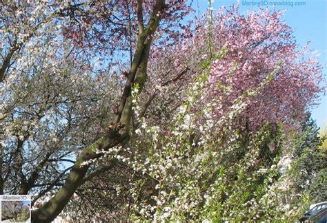 cerisier du japon en pot plantes et arbres en fleurs galerie de photos