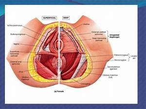 Surgical Anatomy  Pelvic Organ Prolapse