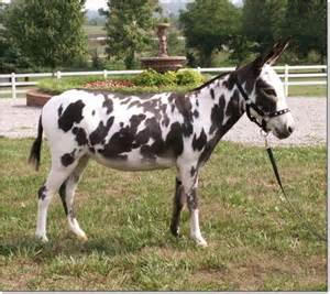 Black and White Spotted Donkeys