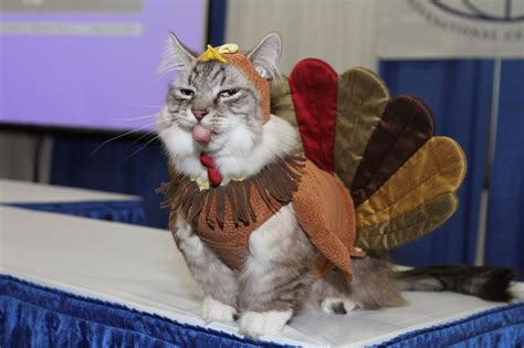 thanksgiving cat cat in turkey costume