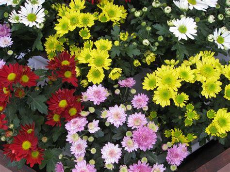 manfaat bunga krisan sampun kreatif