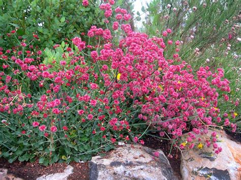 drought tolerant plants clay soil 17 best images about waterwise plants for ca gardens on pinterest kangaroo paw plant catalogs