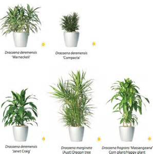 rent dracaena and other plants from ambius