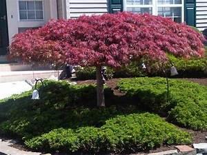 Petit Arbre Persistant : 30 arbre persistant pour petit jardin salon jardin idee ~ Melissatoandfro.com Idées de Décoration