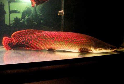 arapaima  biggest freshwater fish  tropical fish