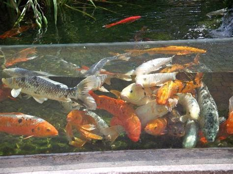 koi carp photo de aquarium du perigord noir le bugue tripadvisor