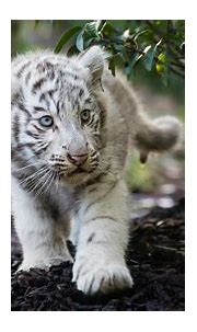 Cute Cub Bengal White Tiger, HD Animals, 4k Wallpapers ...
