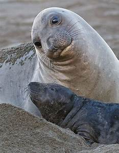 Elephant Seal Mama & Baby | Animals | Pinterest