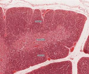 Lymphatic System | histology