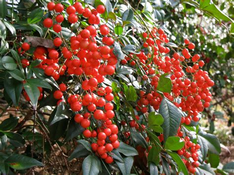 small evergreen shrub with berries mater natura designs conifers evergreens and berries