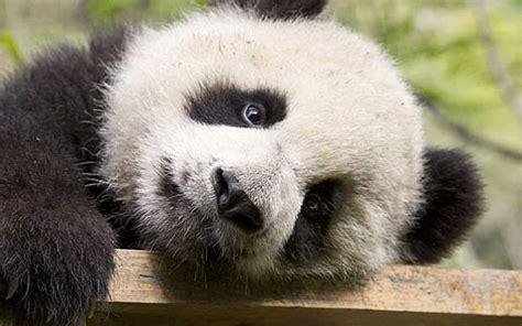 panda diplomacy telegraph