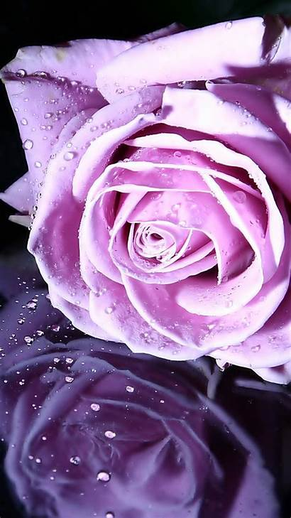 Rose Violet Iphone Wallpapers Backgrounds Abyss Check