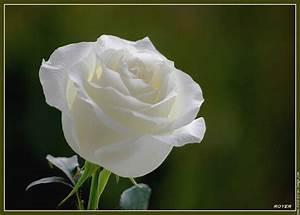 Fleur Rose Et Blanche : fleur rose blanche fleur 0230 fleurs plantes fleurs rose et fleur rose ~ Dallasstarsshop.com Idées de Décoration