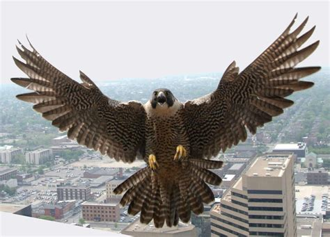 downtown peregrine falcons urged  move   perch