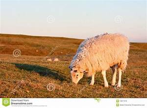 Sheep On A Grassy Hillside At Sunset Stock Photo - Image ...