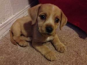 Beago (Golden Retriever-Beagle Mix) Info, Puppies, Pictures