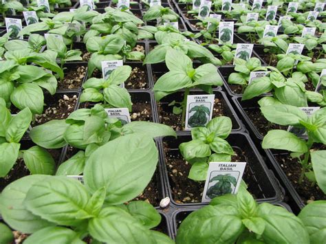 Basilikum Im Garten Selbst Anbauen Plantura