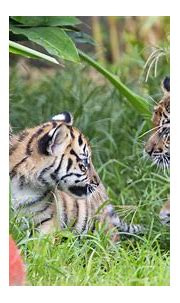 3 Sumatran tiger cubs explore jungle habitat in Sydney zoo ...