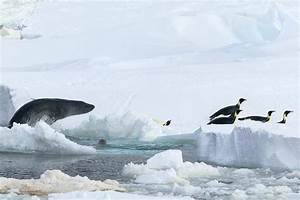 Emperor Penguin Colonies Will Suffer As Climate Changes ...