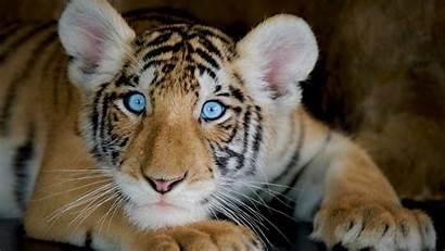 4k Animals Desktop Pc Tiger Funny Boy