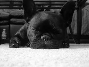 37 French Bulldog HD Wallpapers | Backgrounds - Wallpaper ...