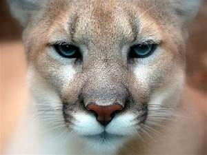 Mountain Lion Free HD Wallpapers Images Backgrounds