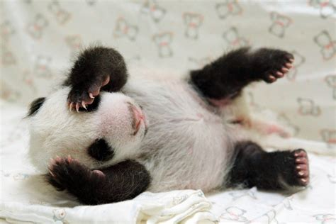 Baby Animals Wallpapers Free - baby panda wallpapers baby animals