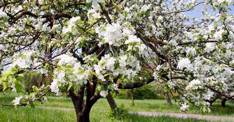 welke fruitboom in de tuin zelf fruitbomen planten zo krijg jij de heerlijkste