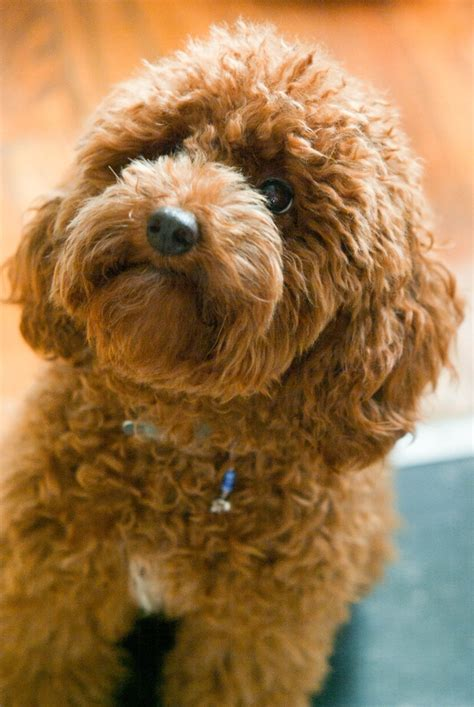 red toy poodle         dog  cute awwww dorable pinterest