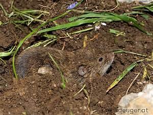 Spitzmäuse Im Garten : erdmaus microtus agrestis ~ Lizthompson.info Haus und Dekorationen