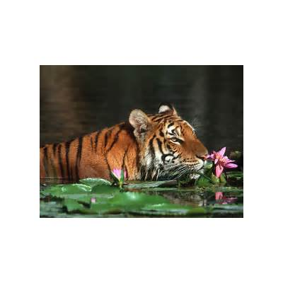 Bangladesh images The royal bengal tiger HD wallpaper and