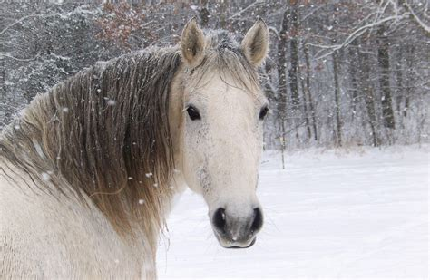 horses snow wallpapers