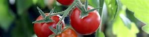 Tomaten Düngen Hausmittel : tomaten d ngen leicht gemacht infos und tipps vom profi ~ Whattoseeinmadrid.com Haus und Dekorationen