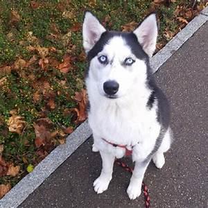 Husky Zu Verkaufen : siberian husky w 9 monate alt in ki legg hunde kaufen und verkaufen ber private kleinanzeigen ~ Orissabook.com Haus und Dekorationen