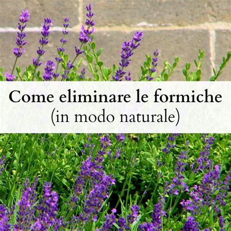 Eliminare Le Formiche by Come Eliminare Le Formiche In Modo Naturale Babygreen