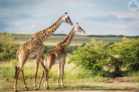 Mara Triangle Maasai Mara National Reserve Kenya